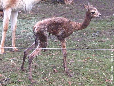 Noch ziemlich wackelig auf den Beinchen, Vikunja-Baby, 35 Minuten alt, 30. November 2011