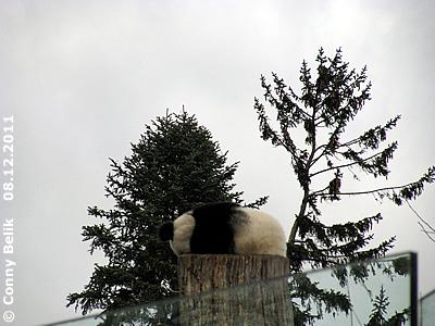 Fu Hu in luftiger Höhe, 8. Dezember 2011