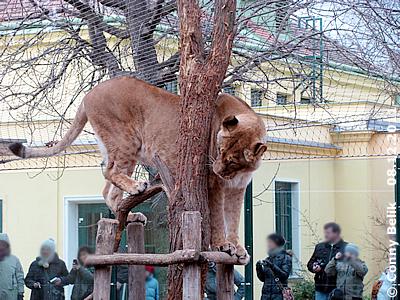 """""""Katze in Baum"""" - eines der Löwen-Mädls, 8. Dezember 2011"""