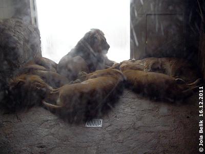 Familie Löwe in der warmen Stube, 16. Dezember 2011