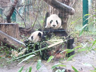 Mama Yang Yang und ihr kleines Baby Monster, 23. Dezember 2011