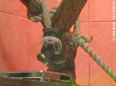 Entzückender Kaiserchnurrbart-Tamarin bei der Jause, 23. Dezember 2011