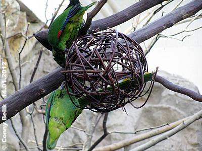 ... und man kann so schön auf ihr herum klettern! Rotspiegel-Amazonen auf einer Weiden-Kugel, 14. Jänner 2012