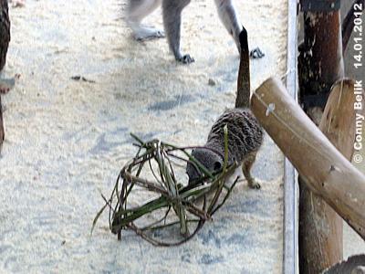 ... hmmm, riecht interessant! Erdmännchen untersucht eine Weiden-Kugel, 14. Jänner 2012