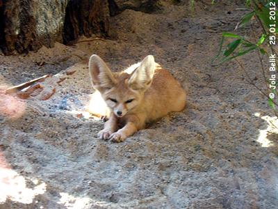 Entzückendes KErlchen mit riesigen Ohren! Fennec Fuchs, Zoo Budapest, 25. Jänner 2012