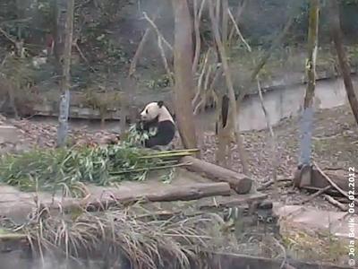 Fu Long in Bi Feng Xia, 6. Februar 2012 (Screenshot von Pandacam)