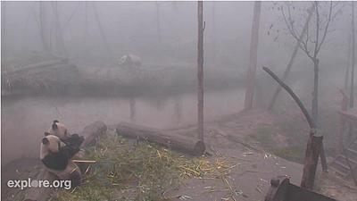 Yao Xin und Lu Lin im Vordergrund, Fu Long im Hintergrund, Bi feng Xia, 4. Februar 2012 (Screenshot von Pandacam)Im