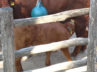 Die weißen Flecken auf dem Kopf werden mal schöne Hörner, Tuxer Rind, 15. März 2012