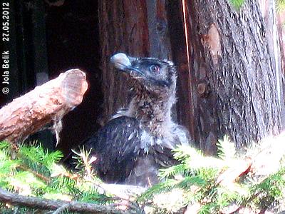 Bartgeier-Küken, rund zwei Monate alt, 27. Mai 2012