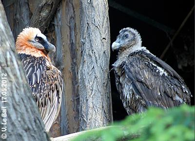 So farbenfroh wird das Bartgeier-Kind eines Tages auch werden! Erwachsenes Tier (li) und Jungtier, rund zwei Monate alt (re), 17. Mai 2012