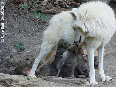 Inja mit ihrem Nachwuchs, 24. Mai 2012