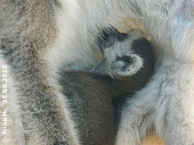 Katta-Baby, wenige Tage alt, 28. April 2012