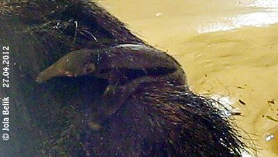 Ameisenbärchen Mocoa, fünf Tage alt, 27. April 2012