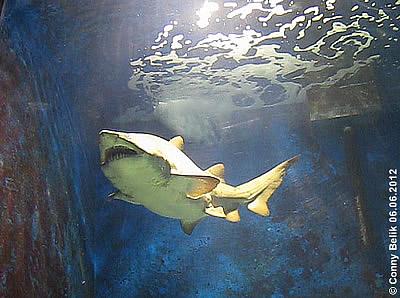 Sandtigerhai, Ócenárium, Sóstó Zoo, 6. Juni 2012