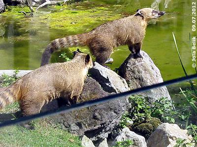 Die Nasenbären beim Teich ihres neuen Zuhauses, 9. Juli 2012