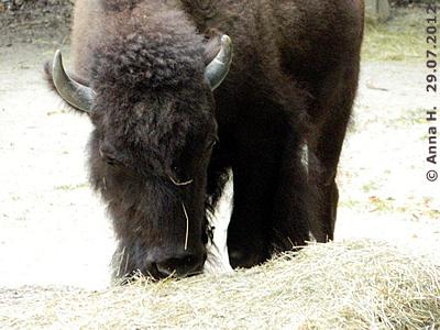 Das neue Bison-Mädl im tiergarten Schönbrunn, 29. Juli 2012