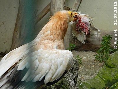 So schöne helle Federn wird unser Riesen-Küken in einigen Jahren auch bekommen! Schmutzgeier-Elternteil bringt Futter zum Nest, 21. Juli 2012