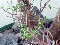 Fockea capensis