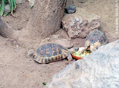Afrikanische Schnabelbrust-Schildkröte in Mittelhalle