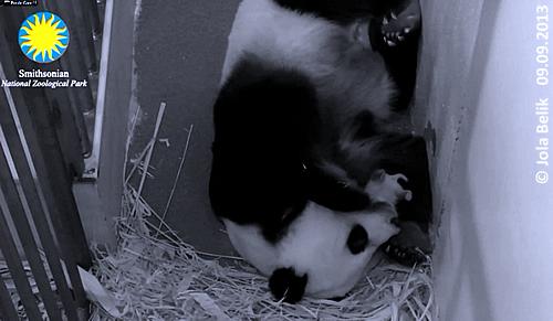 Mei Xiang und Baby