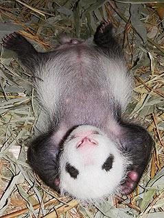 Pandabub