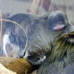 Mini-Kaiserschnurrbart-Tamarin