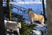 Amarock und Wölfin