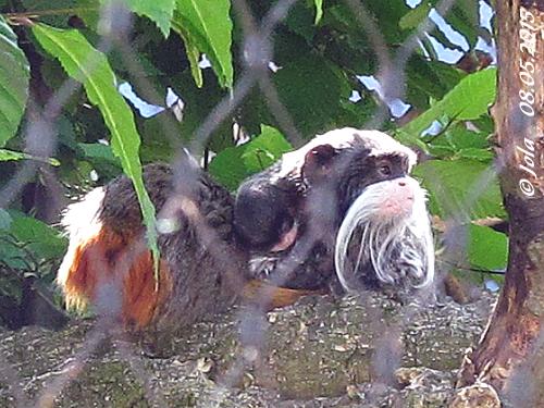 Mama (li) und Papa mit Baby - man muss etwas suchen, bis man sie in der AUßenanlage entdeckt! Familie Kaiserschnurrbarttamarin, 8. Mai 2015