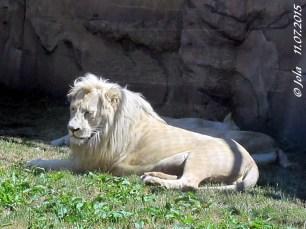 Wunderschöne Weiße Löwen! Barol mit seiner markanten lockigen Frisur, hinter ihm die beiden Mädls im Zoo Györ 11. Juli 2015