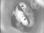 Yang Yang mit Fu Ban und Fu Feng, Tag 97