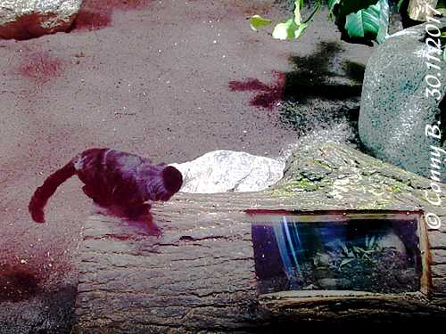 Tamarinchen und Kugelgürteltier