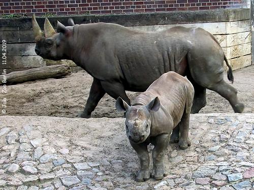 SPitzmaulnashorn Maburi und Baby Maisha