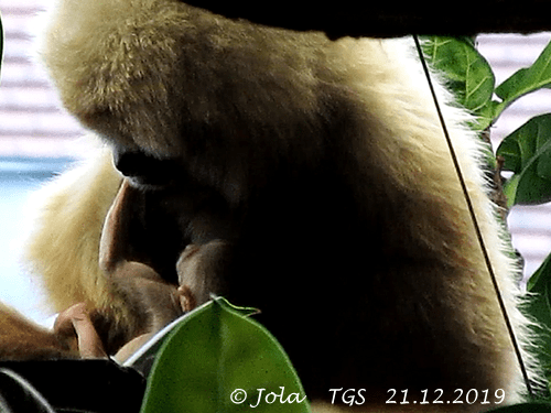 Gibbon Sipura und Baby