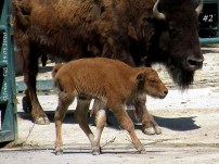 Bison-Baby