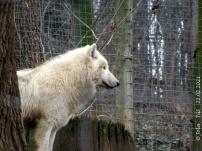 Wolf #1