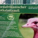 Infotafel Rothalsstrauß