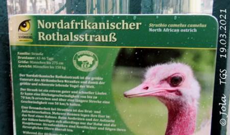 Info-Tafel Rothalsstrauß