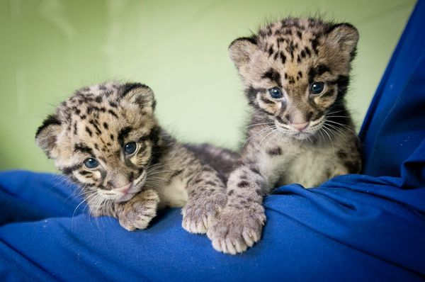 Cute Little Baby Wallpaper Hd Two Tiny Clouded Leopard Cubs Get Their Names Zooborns