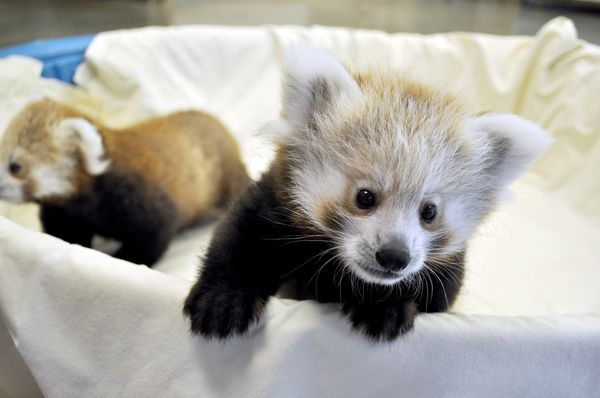 Baby So Cute Wallpaper Red Panda Cubs Are Thriving In South Dakota Zooborns