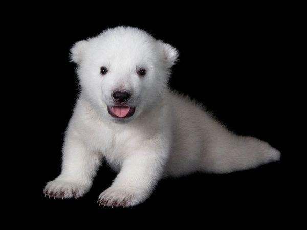 Bear Baby Seal Polar And