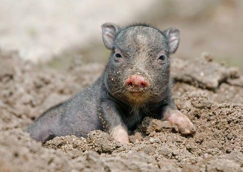 Cute Mother And Baby Wallpapers Meet Tiergarten Delitzsch S Pot Bellied Piglet Zooborns