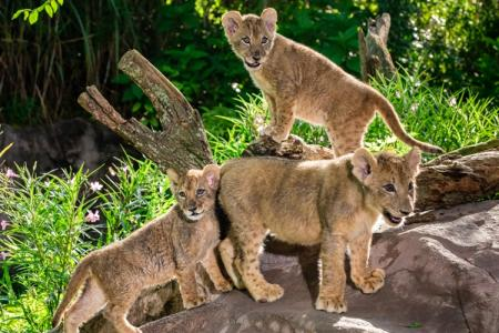 Exotic Animal Wallpaper Update Lion Cub Sisters At Busch Gardens Tampa Bay Get