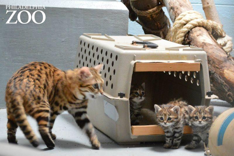Puss In Boots LookAlike Real Kitten Named Drogon Looks
