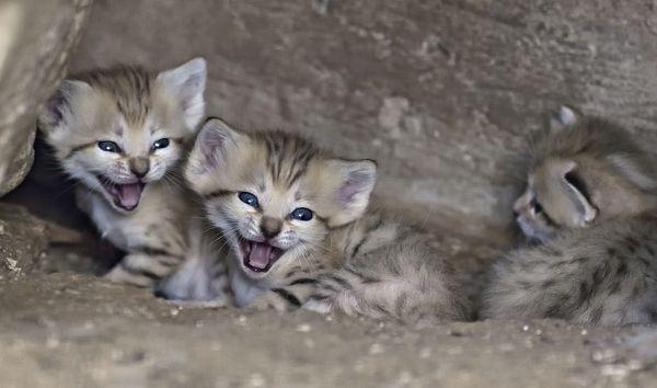 Wallpaper Cute Cats Kittens Israel S Sand Cat Kittens Back By Popular Demand Zooborns