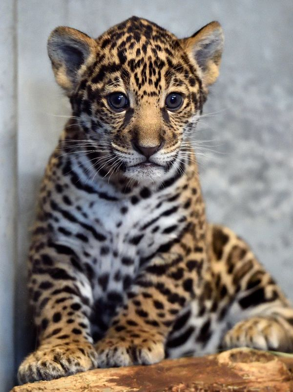 Cute Little Gray Cat For Wallpaper San Diego Zoo S Jaguar Cub Needs A Name Zooborns