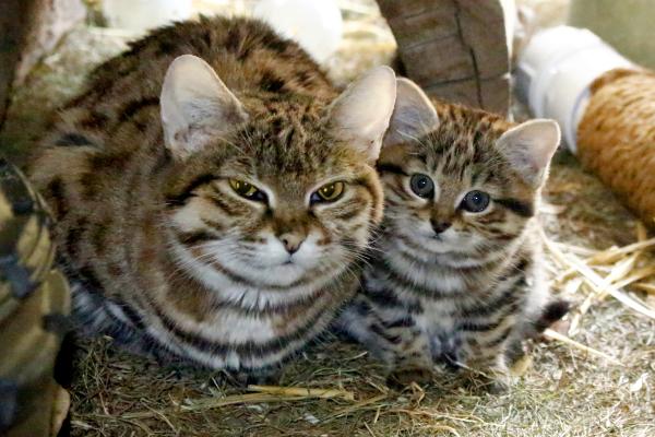 Beautiful Blackfooted Kitten Born at Hogle Zoo  ZooBorns
