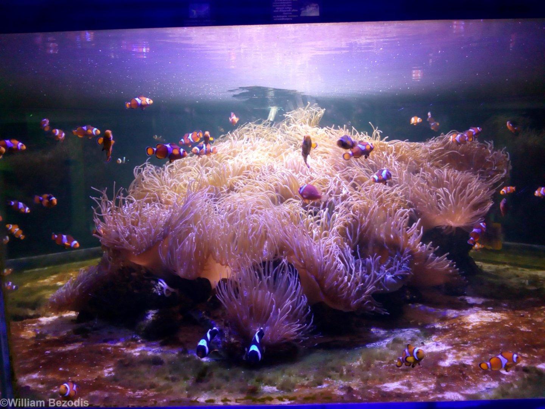 anemone and clownfish tank