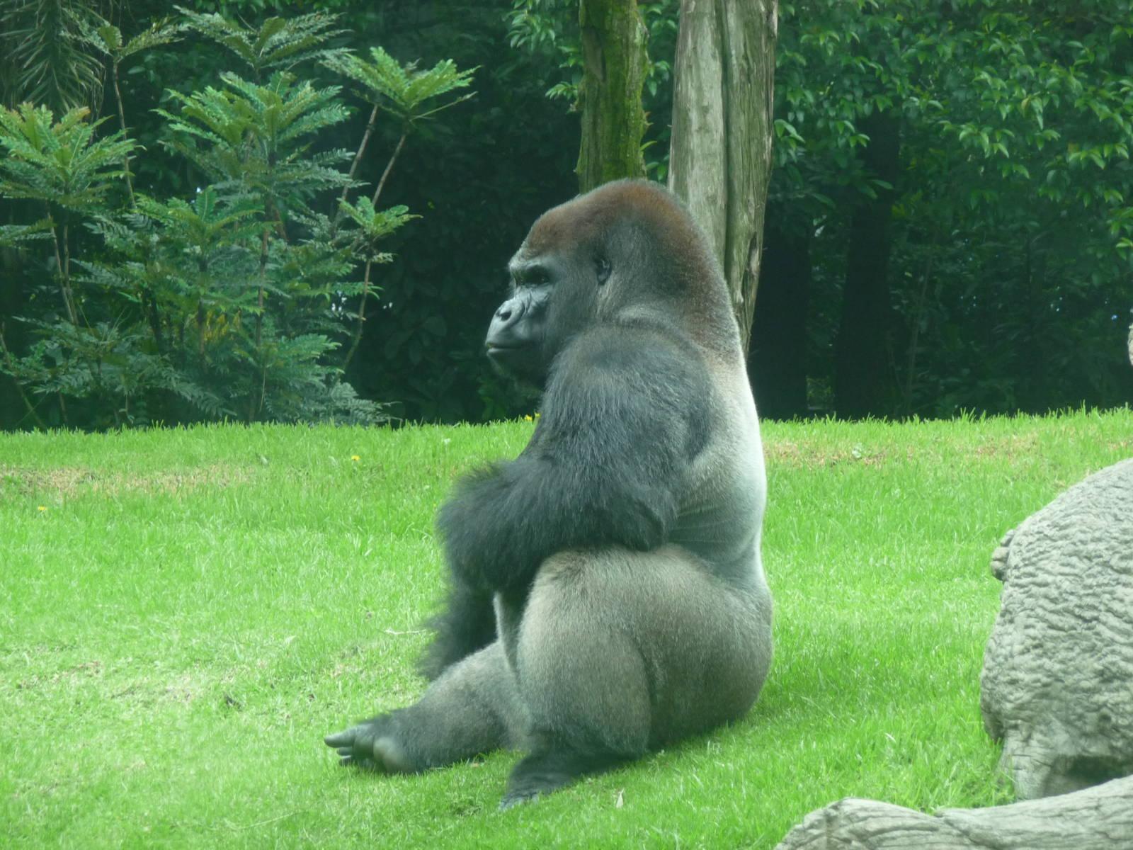 bantu male gorilla chapultepec