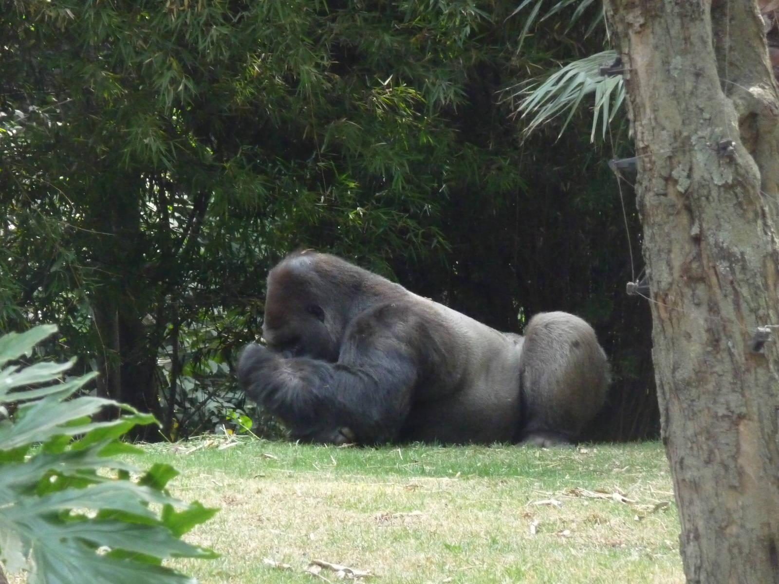 bantu male gorilla eats