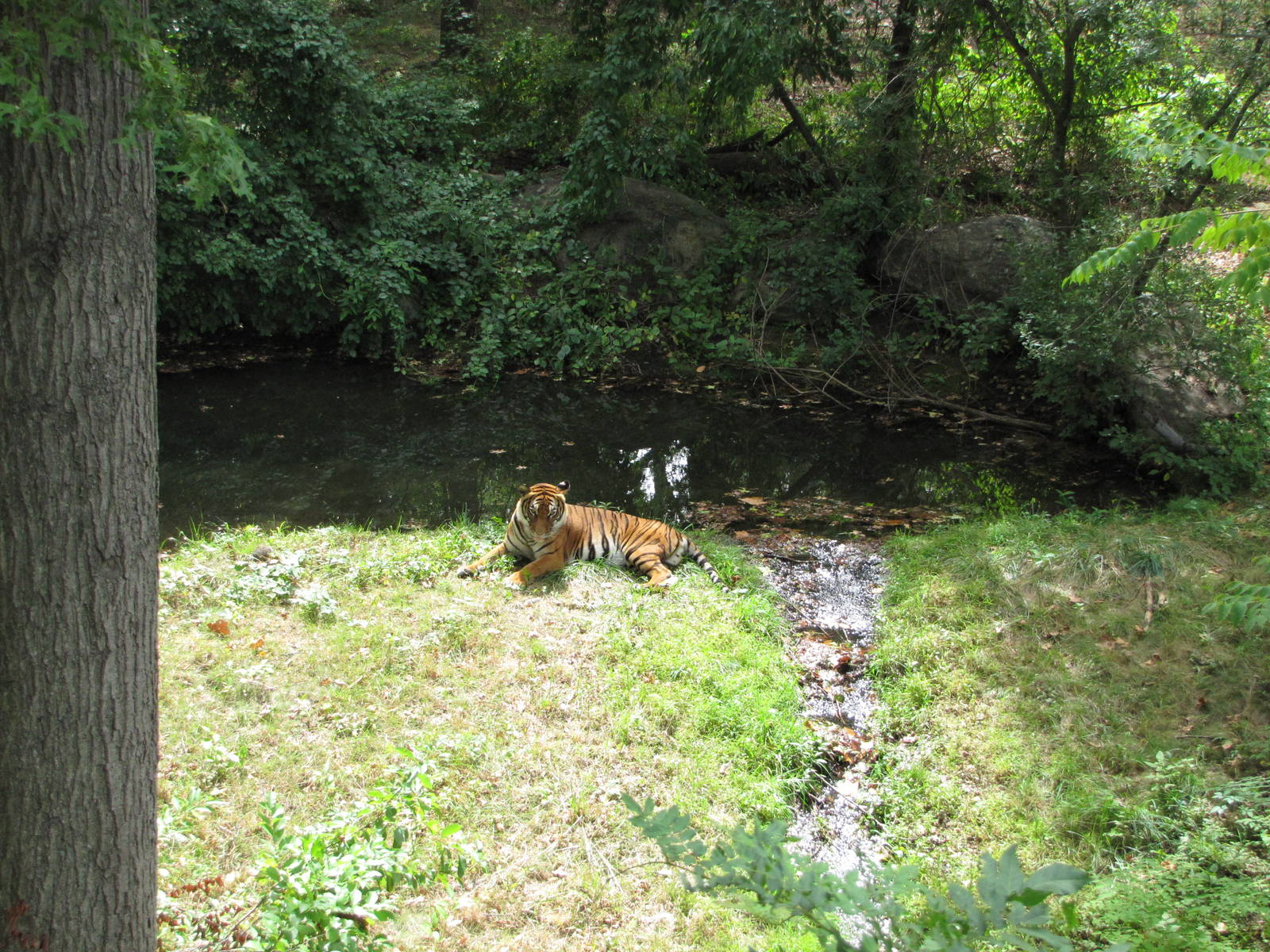 Bronx Zoo Tiger Mountain Zoochat - Year of Clean Water